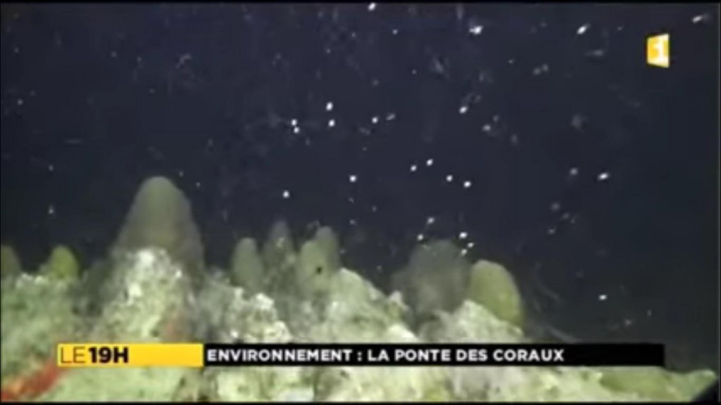 Images rares : ponte du corail-étoilé lobé, espèce en voie d'extinction à Fort-de-France