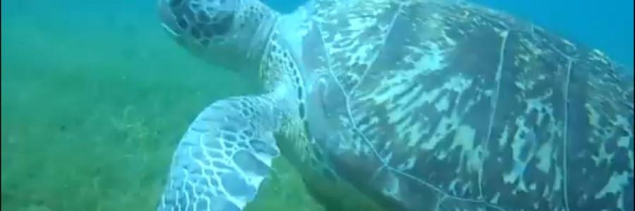 Les tortues marines vertes de retour en Martinique après 20 ans